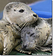 Two harbor seals engage in rest and relaxation. Scientists from Lawrence Livermore National Laboratory and the Sausalito-based Marine Mammal Center are trying to diagnose several diseases that have struck the sea lions and harbor seals.